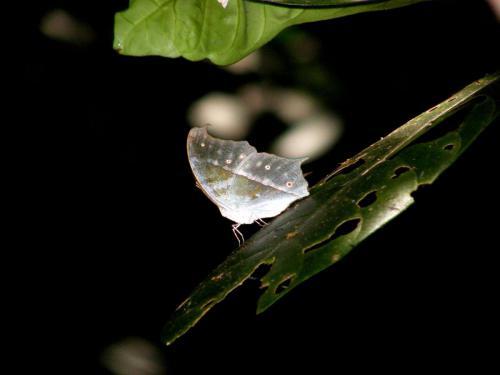 Dr. Bertram Georgii: Tansania -Schmetterling