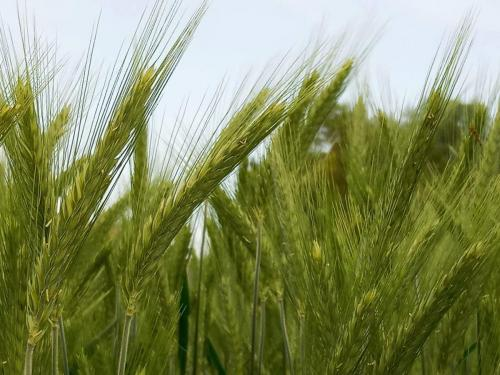 Reifender Weizen