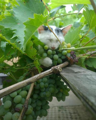 Schlafende Katze in den Trauben