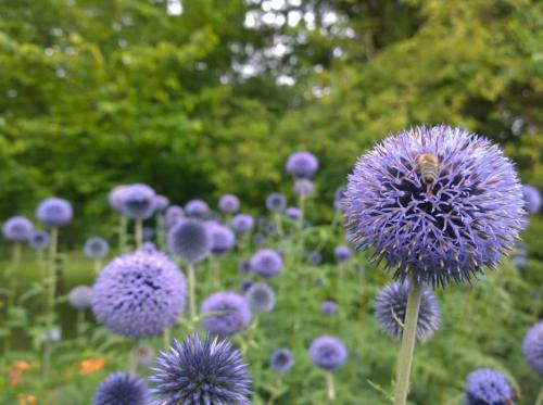 Wundervolle Kugelblume mit Biene