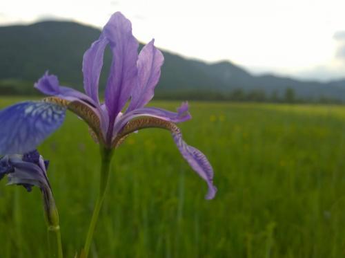 Blaue Schwertlilie im Vordergrund der Berge